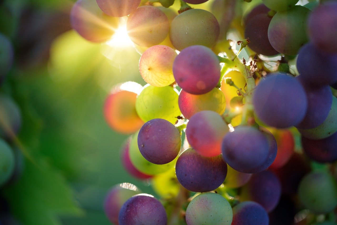 Sunlight on Grape - Winery Denver